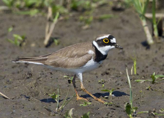 Kleine plevier. Foto: www.vogeldagboek.nl