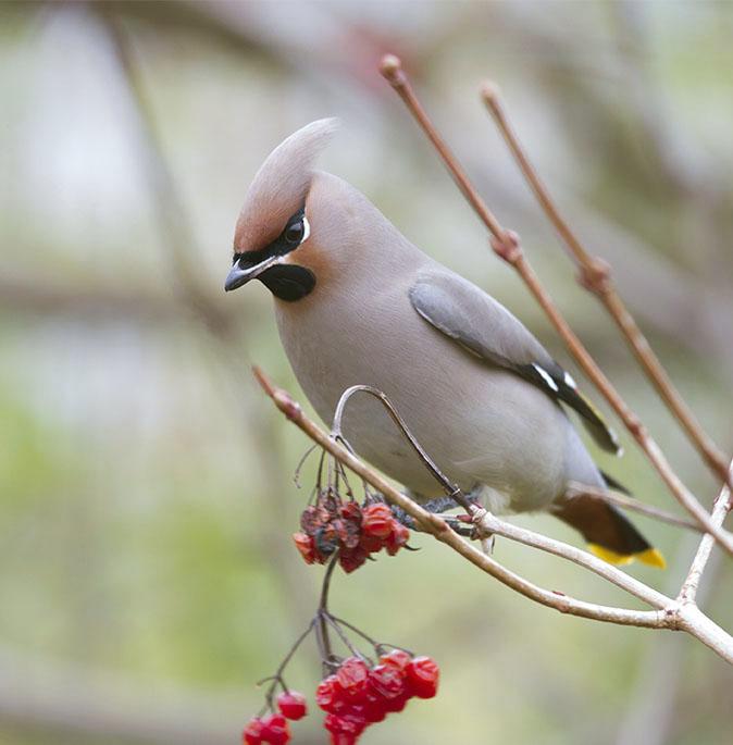 Foto van de Pestvogel